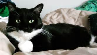 mixed breed tuxedo cat picture 2079 pet gallery