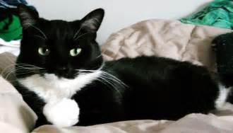 tuxedo cats mixed breed tuxedo cat picture 2079 pet gallery