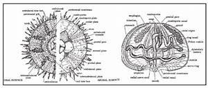 A Sea Urchin   Arbacia Punctulata   Morphology And Anatomy