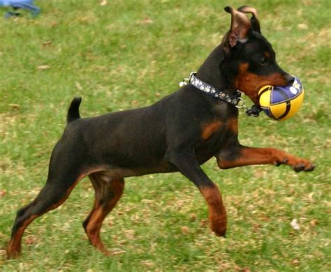do miniature doberman pinschers shed dogs list of all breeds k9 research lab