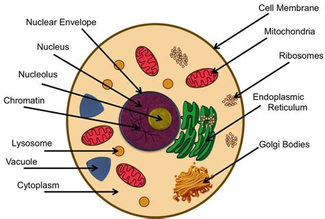 Diagram Part Of A Cell by Teaching About Cells And Functions Of Organelles 6th