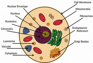 Teaching About Cells And Functions Of Organelles