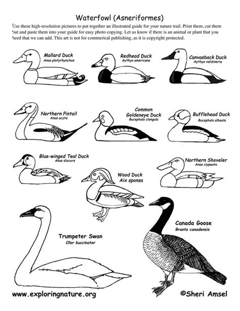 The global population of swans and geese are very different also. Birds - Waterfowl (Ducks, Geese and Swans)