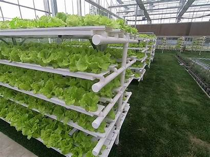 Hydroponic Nft Gutter Systems Growing