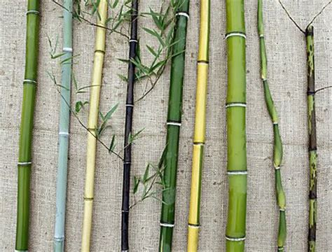bamboo varieties variation in bamboo is mainly in the culms as shown by this selection from little acre farm in