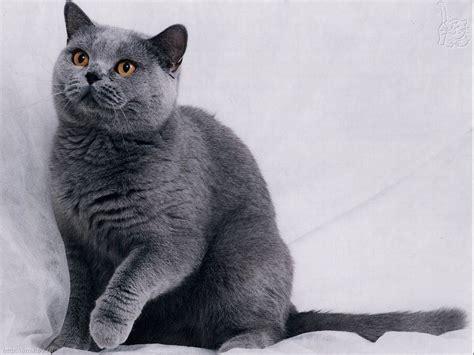 russian blue cats russian blue cat wallpaper
