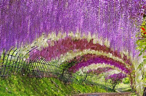 kawachi fuji garden in japan a colorful walk wisteria tunnel at kawachi fuji gardens japan