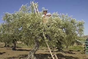Olivenbaum Pflege Im Topf : olivenbaum richtig berwintern ~ Buech-reservation.com Haus und Dekorationen