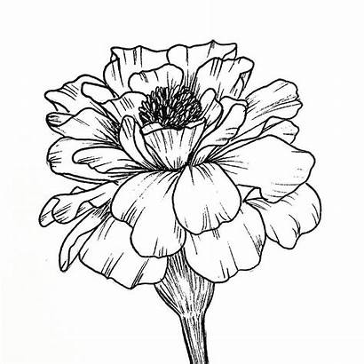 Drawing Marigold Flower Drawings Line Tattoo Marigolds