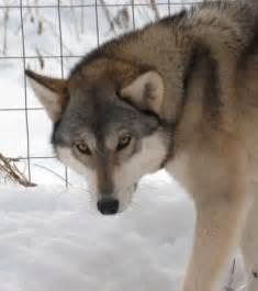 Dog That Looks Like Wolf