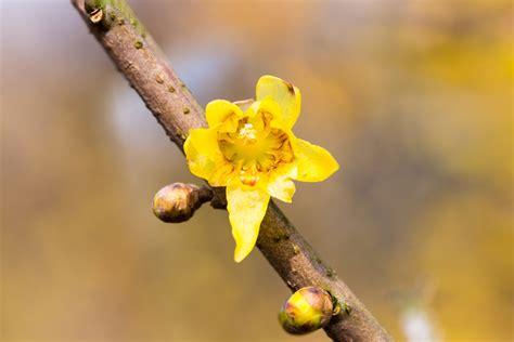 fiore calicanto calicanto profumato fiore d inverno