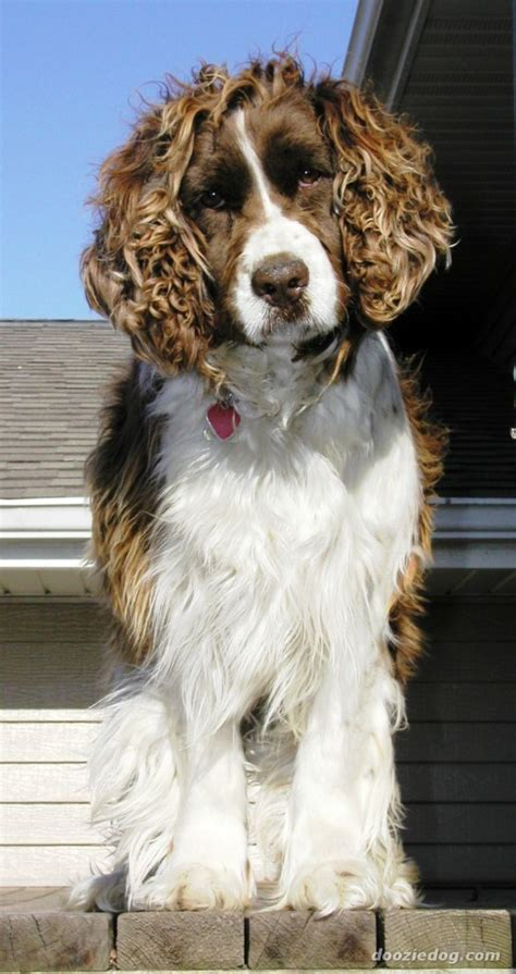 welsh springer spaniel breed guide learn   welsh