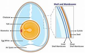 Understanding The Avian Egg  From Outside To In