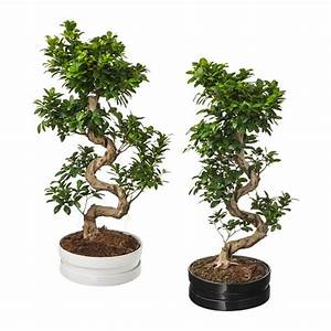Bonsai Ficus Ginseng : ficus microcarpa ginseng potted plant with pot bonsai assorted colours 39 cm ikea ~ Buech-reservation.com Haus und Dekorationen