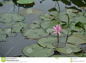 Water Lily Lotus Floating Leaf Stock Image