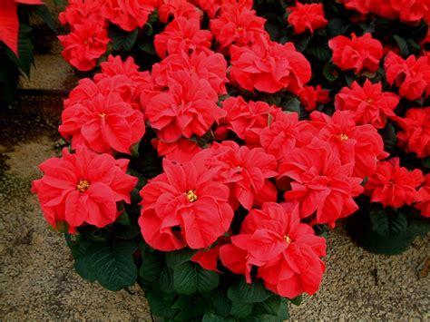 poinsettia flower its me amalina december birth flower my flower