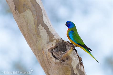 scarlet chested parrot