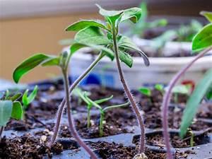 Planter Des Graines De Tomates : semis tomates ~ Dailycaller-alerts.com Idées de Décoration