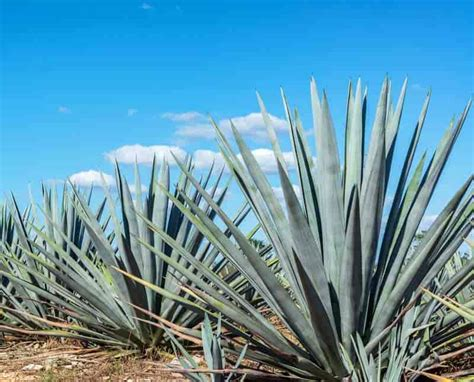 care for agave plant agave plants growing care and use in the landscape and indoors
