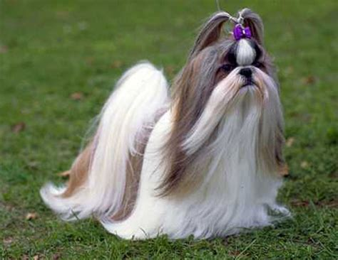 my lhasa apso is shedding hair shih tzu info animals wiki pictures