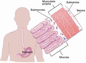 The Stomach Organs