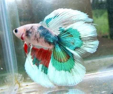best images about you betta work it on multi colored betta fish www pixshark images 17