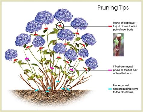 how to prune hydrangeas in the hydrangea care guide willowbrook nurseries