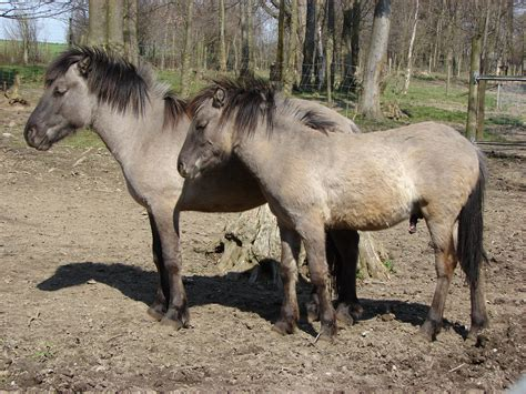 horses horse wild tarpan heck extinct humans forest stop invasive konik breed calling please wikipedia species przewalski german bialowieza heinz