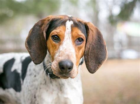 coonhound walker treeing breed dog information english hound redbone american