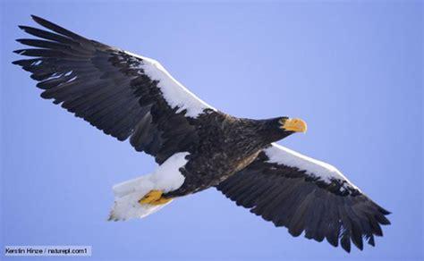 Stellers Sea Eagle (haliaeetus Pelagicus)  Planet Of Birds