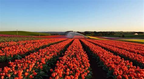 fiori in italia tulipani italiani il primo co u di fiori in italia