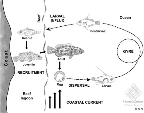 cycle representation physical schematic dominant processes grouper mycteroperca