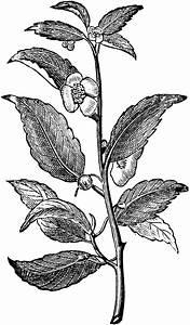 Tea Plant | ClipArt ETC
