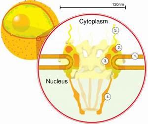 Nuclear pore - Wikipedia