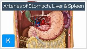 Arteries Of The Stomach  Liver And Spleen  Preview