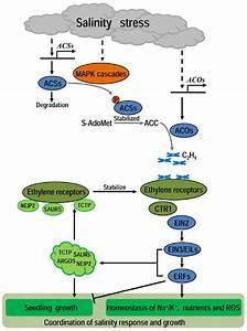 A Diagram Of The Ethylene U2019s Role In Plant Under Salinity