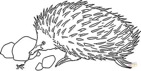 echidna clipart echidna is looking for food coloring page free printable