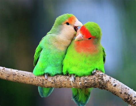 Two Peace-faced Lovebird Photograph by Feng Wei Photography