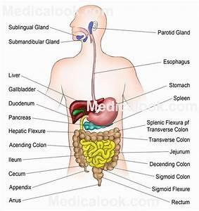 Isimez  Blank Digestive System Diagram For Kids
