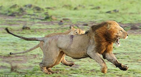 The Wrath Of An Entire Group Of Lions Is Unleashed On Lone