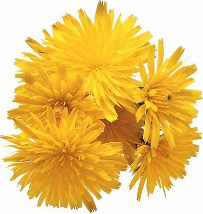 Dandelion Transparent Flowers Resolution Purepng Library