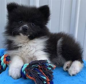 Black Pomeranian For Sale Online