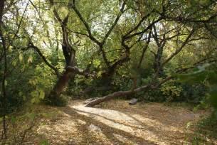file acer negundo trees jpg wikimedia commons