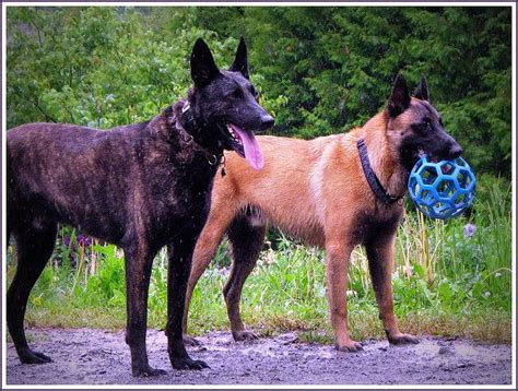 belgian malinois vs shepherd breeds picture