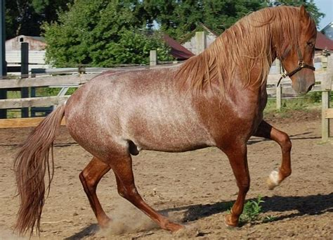 Andalusian Horse Color Chestnut