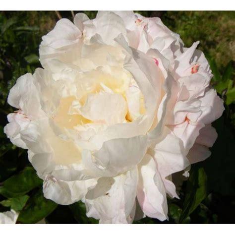 Peonija `Shirley Temple`