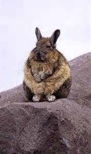 Viscacha Chinchilla Rabbit