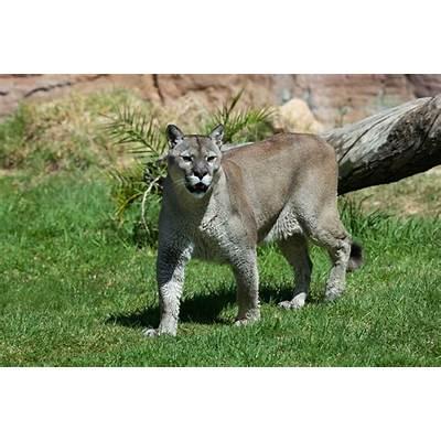 File:Puma concolor stanleyana - Texas Park Lanzarote