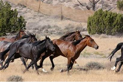 Wild Horses Horse Management Blm Helicopters Hearing