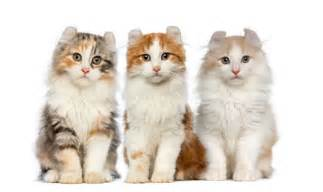 american curl cat american curl cat breed information pictures